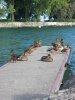 Canards assoupis